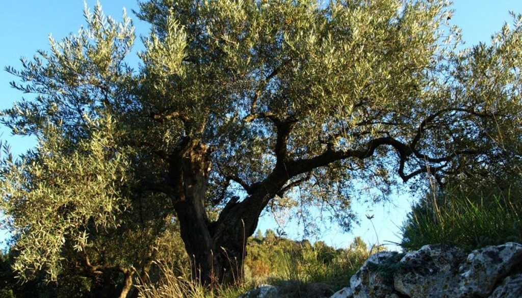 Olivenbaum in der Provence