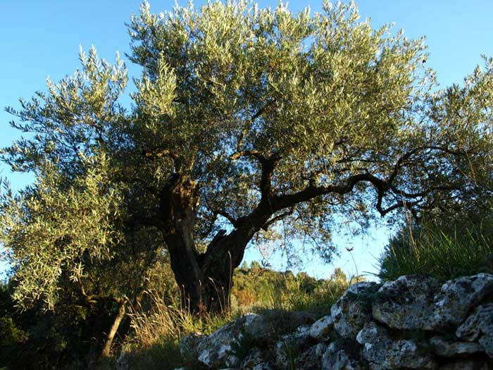 Olive tree in Provence