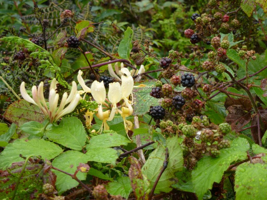 wales blackberries and honeysuckle