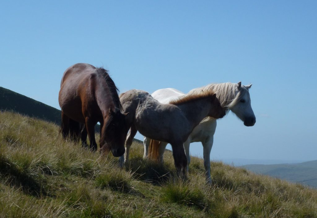 wales horses brecon beacons