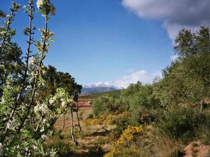 Kirschbluete mit Canigou im Roussillon
